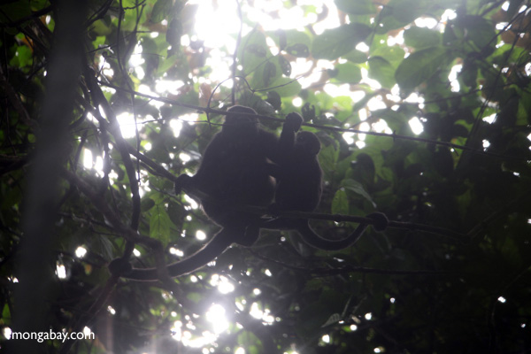Howler monkeys silhouetted in the jungle canopy