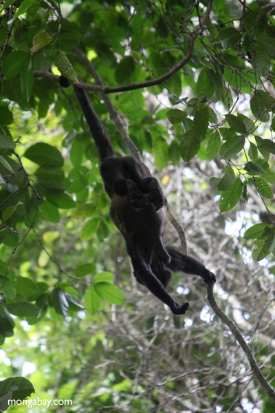 Holwer monkeys swinging from a vine [panama_0329]