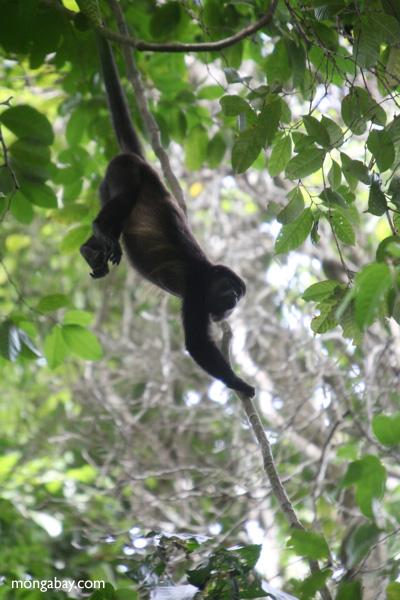 Holwer monkeys swinging from a vine [panama_0330]