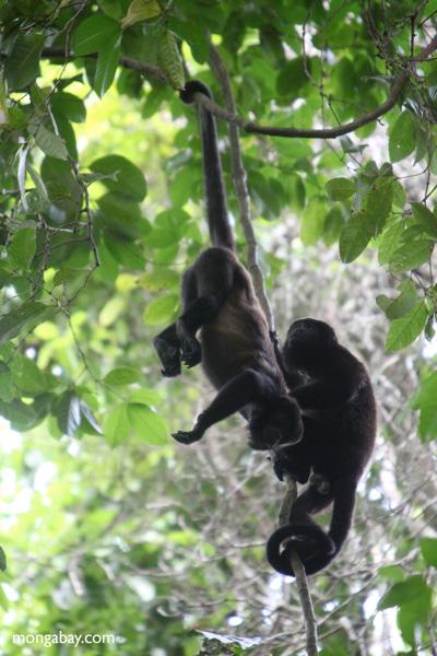 Holwer monkeys swinging from a vine [panama_0335]