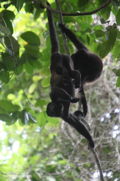 Holwer monkeys swinging from a vine [panama_0336]