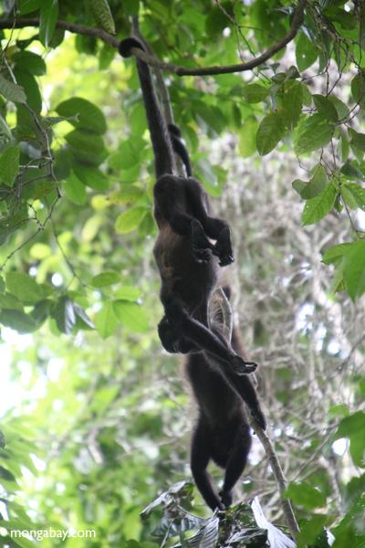 Holwer monkeys swinging from a vine [panama_0339]