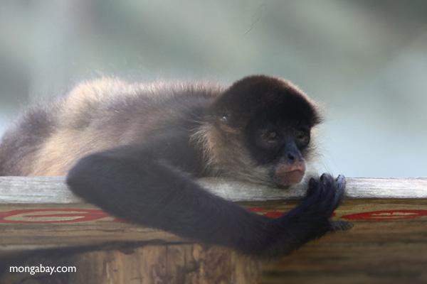 Captive spider monkey