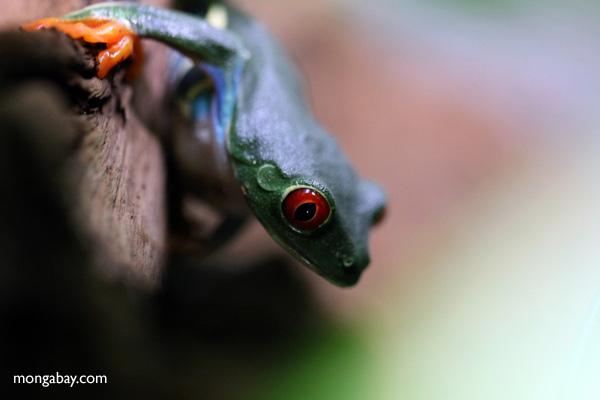 Red-eyed tree frog [panama_0569]