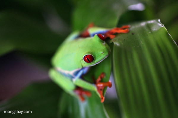 Red-eyed tree frog [panama_0570]