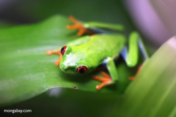 Red-eyed tree frog [panama_0583]