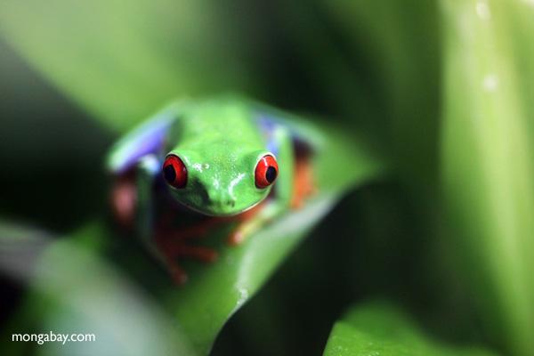 Red-eyed tree frog [panama_0587]