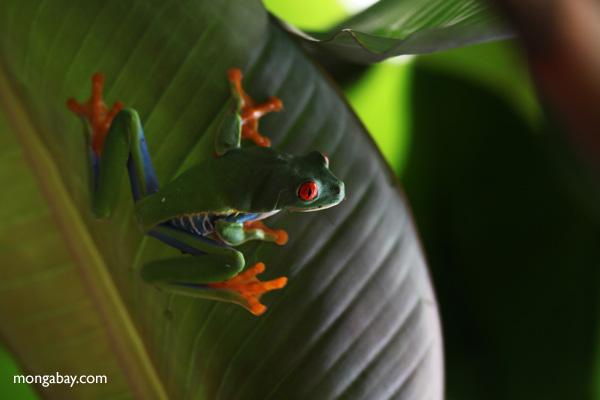 Red-eyed tree frog [panama_0600]