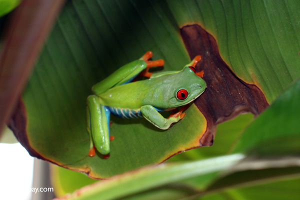Red-eyed tree frog [panama_0604]
