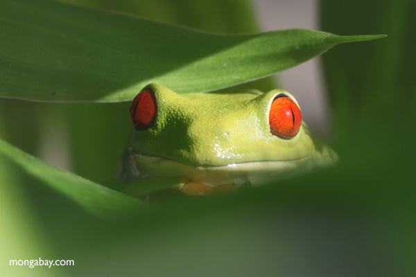 Red-eyed tree frog [panama_0613]