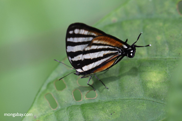 Black and white butterfly with a fake head
