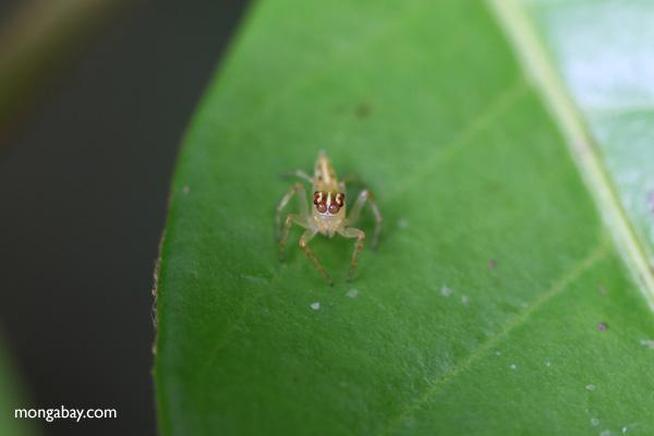 Jumping spider [panama_0759]