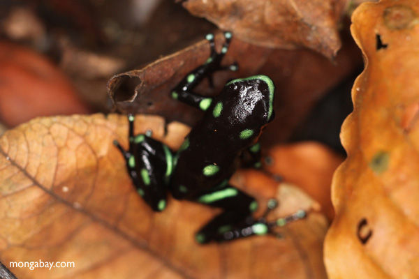 Green and Black Poison Dart Frog (Dendrobates auratus) in the wild
