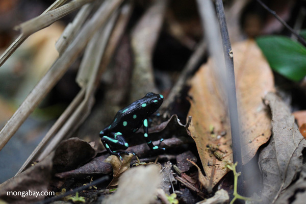 Green and Black Poison Dart Frog (Dendrobates auratus) in the wild [panama_0800]