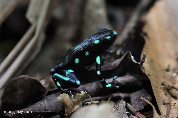 Green and Black Poison Dart Frog (Dendrobates auratus) in the wild [panama_0801]