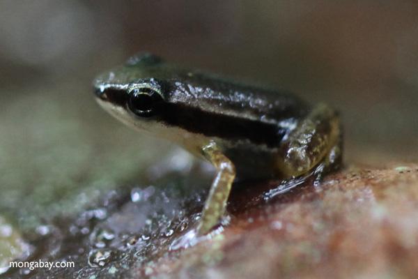 Tiny Rainforest rocket frog (Silverstoneia flotator) [panama_0892]