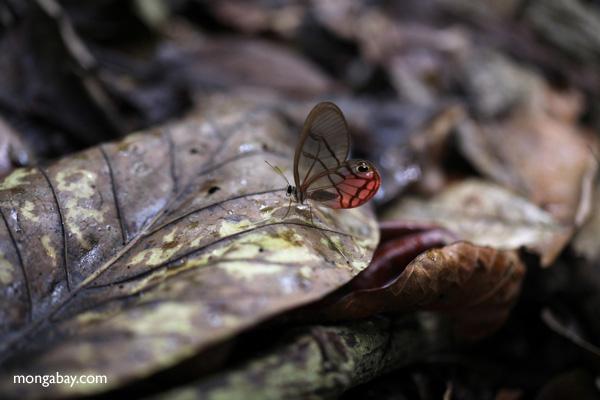 Blushing Phantom butterfly (Cithaerias pireta) [panama_0901]