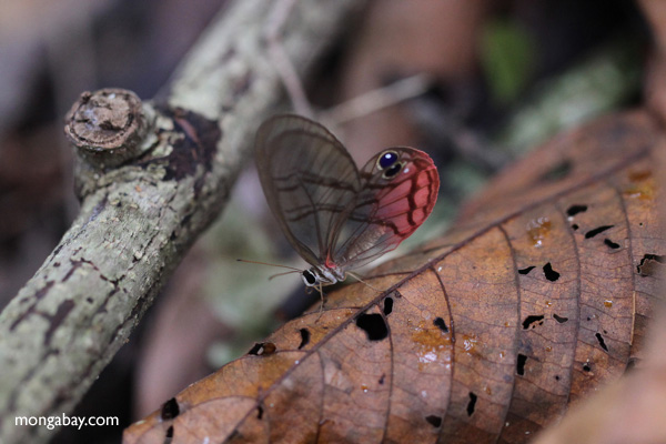 Blushing Phantom butterfly (Cithaerias pireta) [panama_0909]