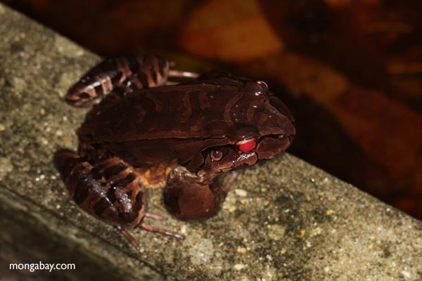 Giant Smokey Jungle Frog (Leptodactylus savagei) [panama_0977]