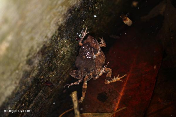 Mating frogs [panama_0978]
