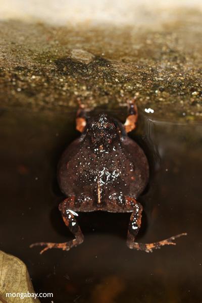 Singing Tungara Frog [panama_0981]