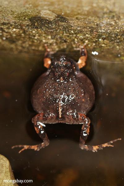 Singing Tungara Frog [panama_0982]