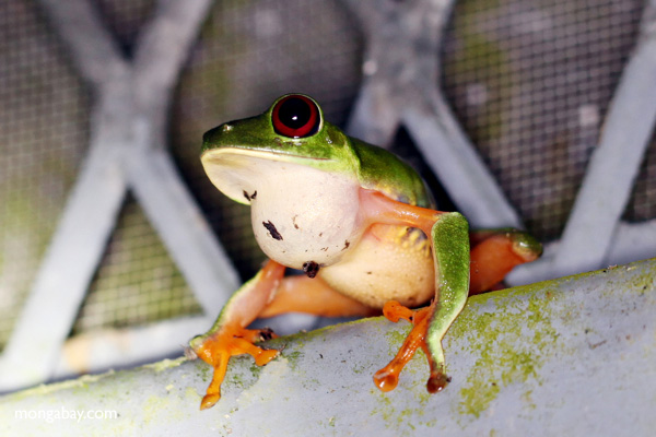 Red-eyed tree frog sitting on a greenhouse wall in Panama