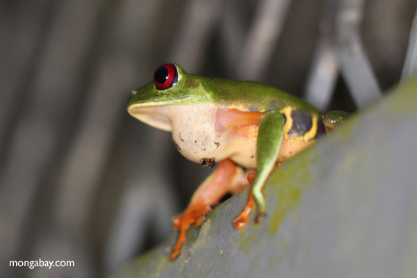 Red-eyed tree frog sitting on a greenhouse wall in Panama [panama_0994]