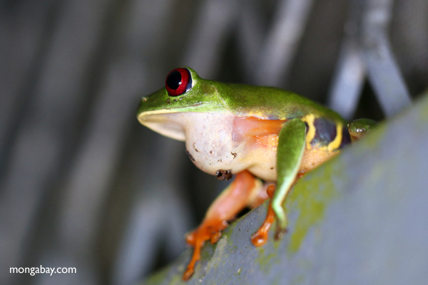 Red-eyed tree frog sitting on a greenhouse wall in Panama [panama_0995]