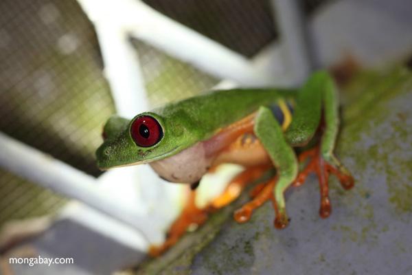 Red-eyed tree frog on BCI [panama_1006]