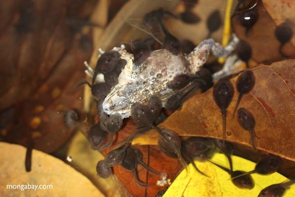 Carnivorous tadpoles eating a Tungara Frog [panama_1009]