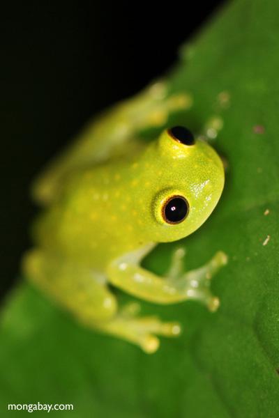 Powdered glass frog (Cochranella pulverata) [panama_1042]