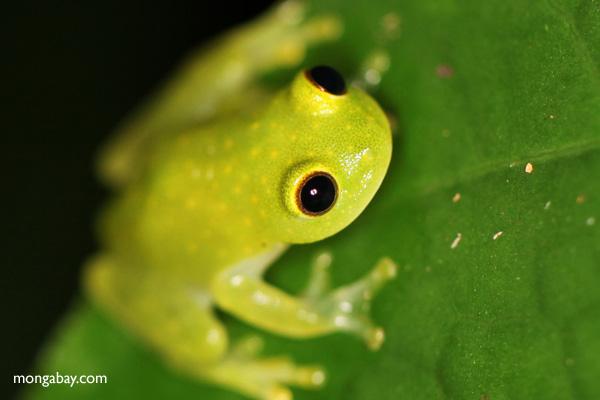 Green tree frog (glassfrog) [panama_1043]