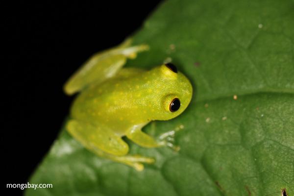 Green tree frog (glassfrog)