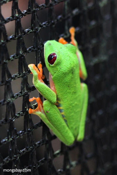 Red-eyed tree frog on a greenhouse on BCI [panama_1070]