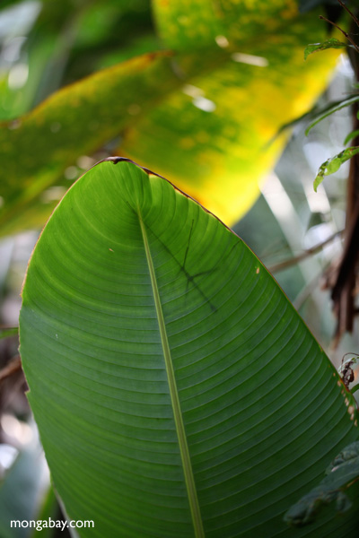 stick insect seen through a heliconia leaf [panama_1084]