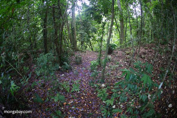 Lavendar flowers from a Jacaranda tree blanketing the floor of the rainforest [panama_1113]