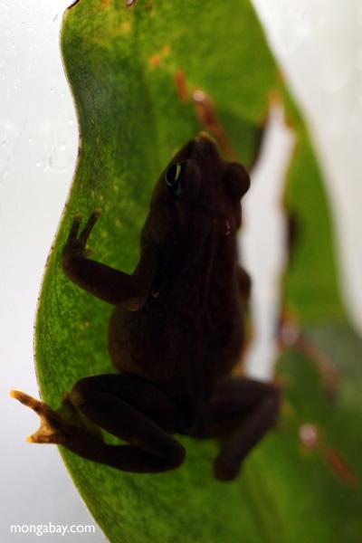 Pirri Harlequin toad (Atelopus glyphus)