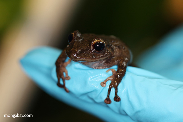 Undescribed Pristimantis frog species