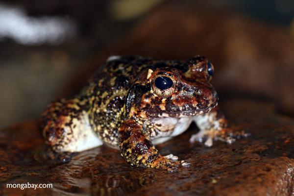 Caraugastor toad [panama_1191]