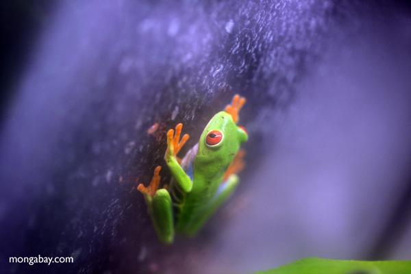 Red-eyed Treefrog (Agalychnis callidryas) [panama_1250]