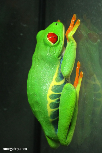 Red-eyed Treefrog (Agalychnis callidryas) [panama_1260]