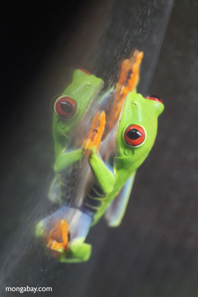 Red-eyed Treefrog (Agalychnis callidryas) [panama_1266]