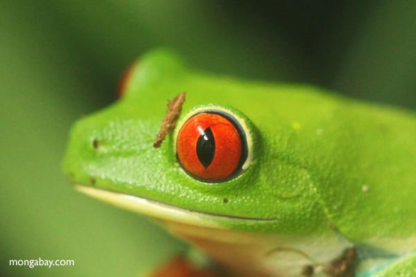 Red-eyed Treefrog (Agalychnis callidryas) [panama_1276]