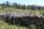 Papuan fence [papua_0015]