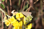 Brown skipper butterfly