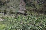 Corn [papua_0170]
