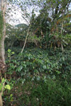 Shade-grown coffee in New Guinea [papua_0808]
