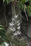 Orchids [papua_0961]