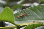 Orange spider [papua_0989]